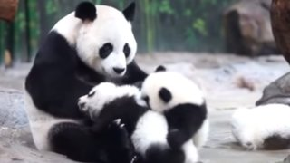 YouTube: pandas trillizos cautivan con tierna pelea por el amor de su mamá