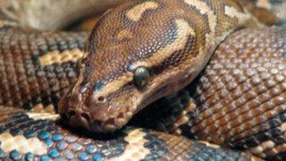VIDEO: sujeto queda grave al intentar tomarse selfie con una serpiente