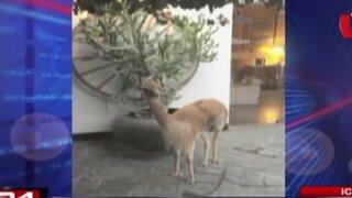 Ica: muerte de vicuña trasladada por personal del Estado causa indignación