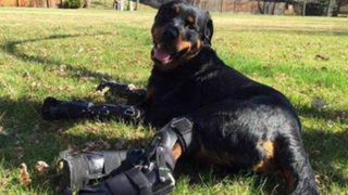 VIDEO: perro amputado vuelve a caminar gracias a nuevas prótesis