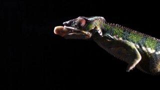 En cámara lenta: así actúa la lengua del camaleón al atrapar una presa