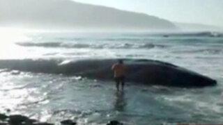 Arequipa: mar vara ballena gris de 18 metros de largo