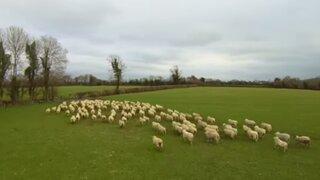 VIDEO : granjero irlandés reemplaza perro pastor por un drone