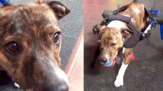 Ernie, el perro discapacitado que volvió a correr