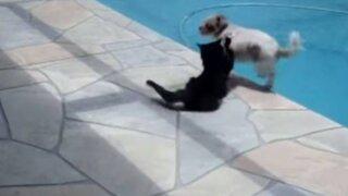 VIDEO : gato se molestó y lanzó a un perro a la piscina