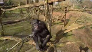 YouTube: mira lo que hizo este chimpancé para derribar un dron