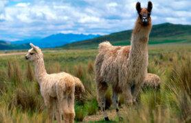 Agro Rural vacunará a más de 300 mil alpacas y ovejas de la región Arequipa