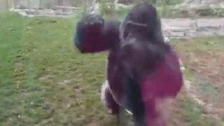 VIDEO: familia estadounidense sufrió tremendo susto al ser atacada por un gorila