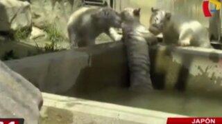 Japón: cachorro de tigre es rescatado por sus hermanos