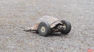 VIDEO: tortuga discapacitada vuelve a caminar gracias prótesis