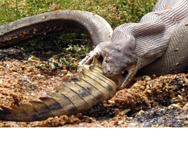 Rayos x muestran cómo una pitón digiere a un enorme cocodrilo