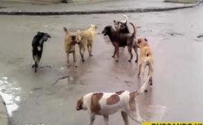 Perros en abandono: animales de la calle podrían formar peligrosas jaurías