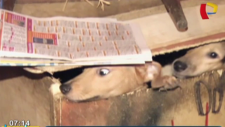 Barranco: al menos 18 perros viven hacinados en diminuto inmueble
