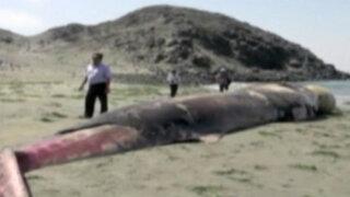 Chimbote: ballena aparece varada en caleta El Dorado