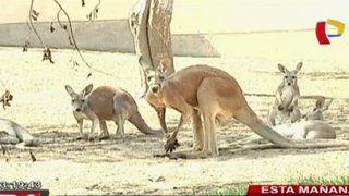 Parque de las Leyendas presentó a segundo bebé canguro nacido en cautiverio