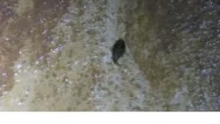 VIDEO : descubren extraño pez que puede escalar sobre las rocas