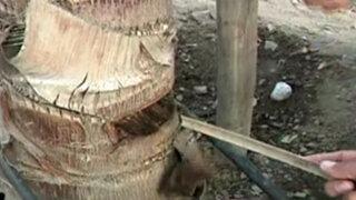 Municipalidad de Lima denuncia envenenamiento de 22 palmeras