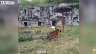 VIDEO: grulla enfrenta valientemente feroz ataque de dos tigres en zoológico