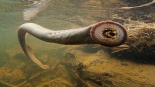 Terror en Alaska : pobladores asustados por presencia de 'peces vampiro'