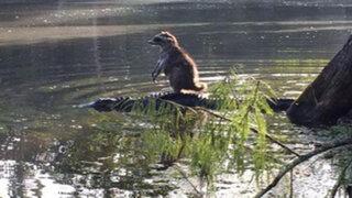 Twitter : foto de mapache sobre el lomo de un caimán se hace viral