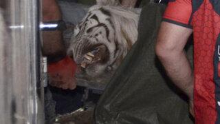VIDEO: tigre que escapó de zoológico mata a hombre y deja grave a otro