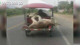 WhatsApp: sujeto traslada a burro y ovejas en mototaxi