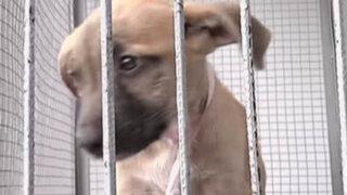 Perros abandonados en una casona de Barranco buscan dueño