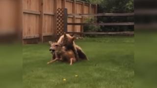 YouTube: impactantes imágenes de oso cazando a ciervo estremecen las redes sociales