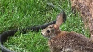 VIDEO: coneja se enfrenta a una serpiente para salvar a su cría