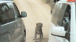 Guía estuvo a punto de sufrir mutilación tras ataque de leopardo en un safari
