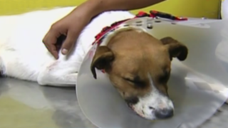Desconocidos incrustan fierro en hocico de perro: can se recupera en veterinaria