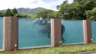 Mira como elefantes se refrescan en una piscina transparente en Japón