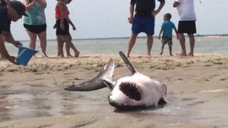VIDEO : impresionante rescate de un tiburón blanco varado en la arena