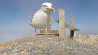 Una gaviota 'robó' una GoPro y las imágenes que captó son impresionantes