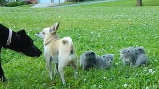 YouTube: un chihuahua y su valiente defensa a gatos cachorros de un perro grande