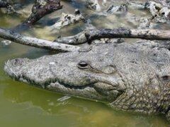 Tumbes: niños encuentran a lagarto mientras pescaban en río Zarumilla
