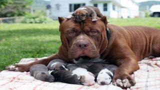 FOTOS : el pitbull más grande del mundo tuvo a sus primeras crías
