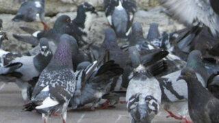 Vecinos perjudicados por aumento de palomas en el Callao