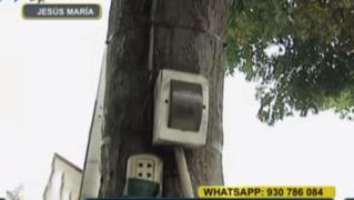 WhatsApp: árboles 'convertidos' en postes de luz son un peligro para transeúntes