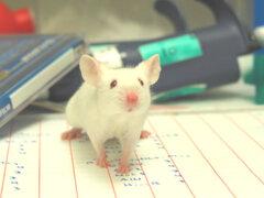 ¿El elixir de la juventud? Científicos prolongan en un 65% la vida de los ratones