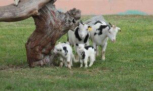 Cabras alpinas bebés son la nueva atracción del Parque de las Leyendas