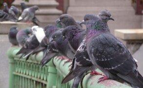 Vecinos temen por su salud ante invasión de palomas en el Callao