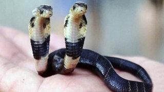 VIDEO: veterinarios tratan de mantener viva a una cobra de dos cabezas