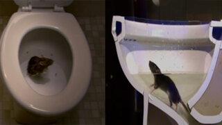 VIDEO: explican cómo una rata puede salir con facilidad por tu inodoro