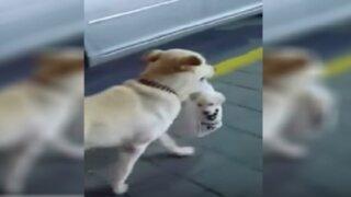 YouTube: perra que carga a su cachorro en una bolsa enternece las redes sociales