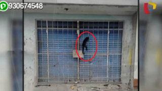 Mono es amarrado a la reja de una bodega en Lurigancho–Chosica