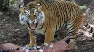 Tragedia en Zoológico: tigre mata a trabajadora que limpiaba su jaula