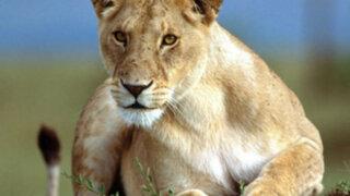 Leona salva a trabajador de zoológico que era atacado por león