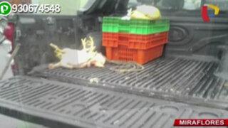 Miraflores: pollos son trasladados para su venta de forma antihigiénica