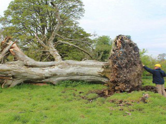 FOTOS: pobladores realizan insólito hallazgo en árbol derribado por tormenta